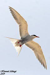 (Birds of Kuwait (Alshayji)) Tags: bird birds kuwait