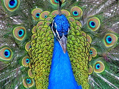 VANITY FAIR (André Pipa) Tags: pavão peacock animals vaidade vanidad vanity berlusconi cores colours estilo style cool colors colorful stripes sharpteeth explore 100faves photobyandrépipa