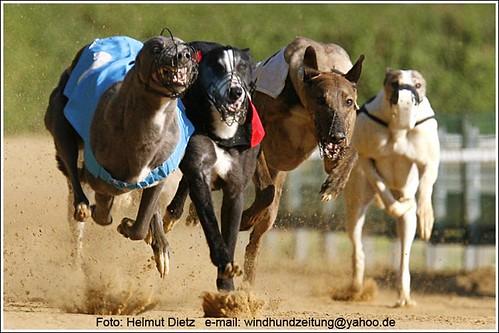 Greyhound: Blue-Lady van de Sanpollia, NL