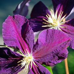 Leather Flower: Clematis (StGrundy) Tags: flowers atlanta usa flower detail macro green nature floral yellow closeup georgia botanical nikon purple unitedstates blossom south roswell clematis explore southern buds oldmansbeard virginsbower travellersjoy leatherflower explored d80 mywinners vasevine explorewinnersoftheworld damniwishidtakenthat nikkor1855mmf3556gvr