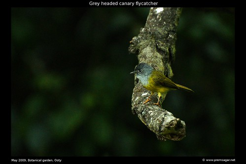 Grey Headed Canary flycatcher 1