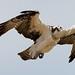 Osprey, Chesapeake Bay Field Trip