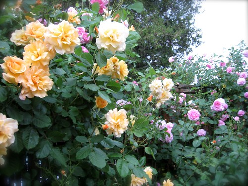 Autumn Sunset and Lavender Lassie Roses