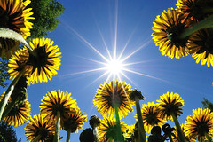 Backlit Dandelion (christian.senger) Tags: travel flowers blue light sky sun plant nature yellow backlight digital geotagged outdoors nikon europe blossom russia frombelow dandelion fisheye explore frontpage stipe frogperspective d300 antperspective onega ladoga lakeonega lakeladoga mandrogy nikoncapturenx2 christian_senger:year=2009