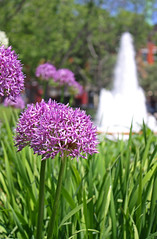 Berczy Park (ash2276) Tags: park street city flowers blue urban white plant toronto ontario canada flower building green church fountain spring focus iron purple flat perspective may front wellington flatiron mycity on downton gooderham alium endofmay ald berczy gooderhambuilding torontoiswhereilive torontophotographer aliums ash2276 ashleyduffus ashleysphotography may292009 ald ashleysphotographycom ashleysphotoscom ashleylduffus wwwashleysphotoscom