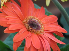 First Gerber Daisy!!! (s.kosoris) Tags: flowers closeup daisies canon garden gerber gerberdaisies blueribbonwinner happyflowers s3is canonpowershots3is abigfave skosoris