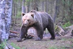 Kamera67 - summertrip (aixcracker) Tags: bear summer june juni suomi finland forrest bjrn skog mets sommar kes karhu keskuu suomussalmi kamera67 nikond3 arolantila ruhtinansalmi