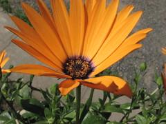 Happy Flower (s.kosoris) Tags: flowers macro closeup canon garden deck happyflowers s3is canonpowershots3is skosoris