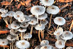 Mushrooms Compost Dirt Organic Garden Plants Wood Decay Fungus DSC_5042x (David Kozlowski) Tags: wood plants garden mushrooms texas decay dirt fungus organic compost