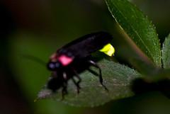 Firefly Aglow (aeschylus18917) Tags: park macro nature japan night insect tokyo nikon nocturnal g beetle micro   nikkor firefly f28 vr coleoptera lightningbug hotaru 105mm koganei insecta  kabutomushi 105mmf28 lampyridae nogawapark koganeishi  elateroidea 105mmf28gvrmicro  polyphaga luciolalateralis  d700 nikkor105mmf28gvrmicro luciolacruciata elateriformia    danielruyle aeschylus18917 danruyle druyle