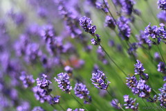 To my mum ... (_nejire_) Tags: purple lavender explore 5pm 252 carlzeiss f20 lavendula 10faves 25faves canoneos400d fave10 planart50mm fave25 carlzeissplanart1450ze 7831515g830am no351