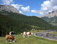 Dolomite Cows (will_cyclist) Tags: italy geotagged cycling cows dolomites corvara maratonadlesdolomites geo:lon=11884477297 geo:lat=46532937186 cowsx