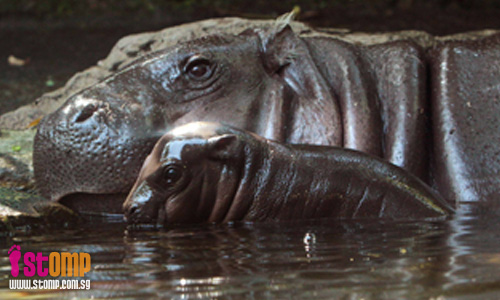Singapore Zoo welcomes baby pygmy hippo!