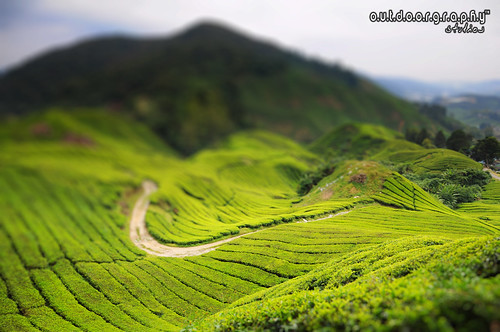 Miniature : BOH Tea Plantation, Sg. Palas (by Sir Mart Outdoorgraphy™)