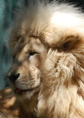 The White Emperor (Colleens Creations) Tags: animal cat lion bigcat whitelion mywinners worldbest flickraward goldwildlife flickrbigcats colleenscreations hganimalsonly