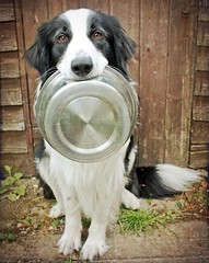 Time for Tea? (meg price) Tags: bowl trick bordercollie barney carry hold thelittledoglaughed diamondclassphotographer flickrdiamond magicunicornverybest hesactuallynotadogruledbyhisstomach hewalksoffhalfwaythroughdinnersometimes notsomuchanymorethough notnowhesrealizeddillywillfinishitwhilehesgone