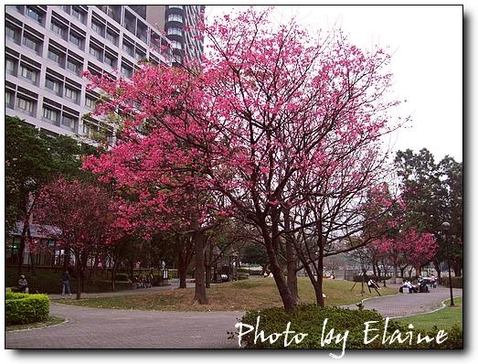 振興醫院旁的櫻花樹