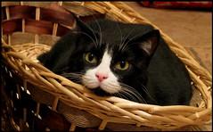 Virginia dans le panier (abbesses) Tags: cats cat virginia chats kitten chat gatos olhos oeil yeux occhi gato gata olho gatto occhio gatti chatte micia panier gatta cestino corbeille