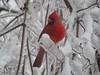 Cardinal (darylktabor) Tags: ourkentucky