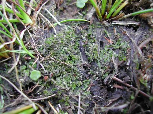 Riccardia chamedryfolia image
