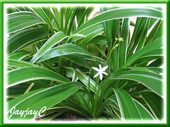 Chlorophytum laxum 'Bichetii' (Bichetii Grass, Siam Lily, False Lily Turf, Wheat Plant) in our garden, August 2008
