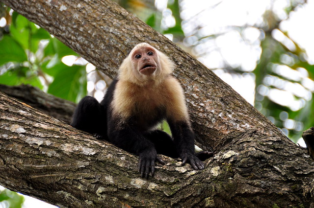 Capuchin monkey in Cahuita National Park