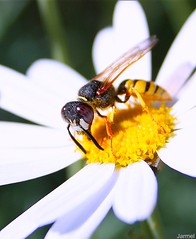 Wasp (Jarmel) Tags: africa light hairy orange brown sun white black flower green grass yellow contrast forest canon bug eos grey high dof bokeh small agadir morocco maroc daisy 2009 jamal hairs taroudant inflorescence armel 450d macrolife jarmel