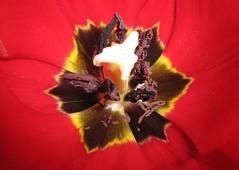 LOOK and ADMIRE!!! (Helena van Dee.) Tags: look heart pistil stamen tulip pollen soe simplyred admire mywinners
