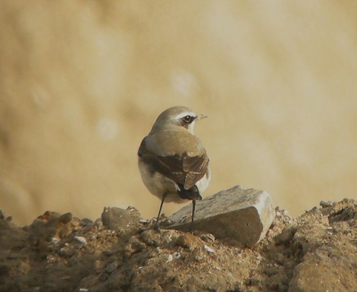Northern Wheatear at Marshside
