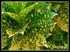 Codiaeum variegatum 'Gold Dust' or 'Aureo-maculatum', seen around the neighbourhood