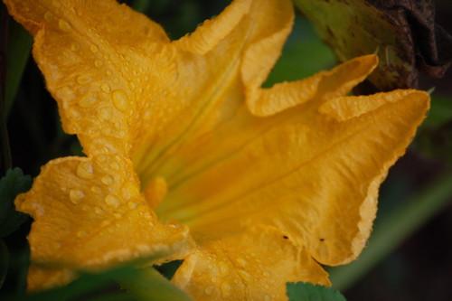 butternut bloom