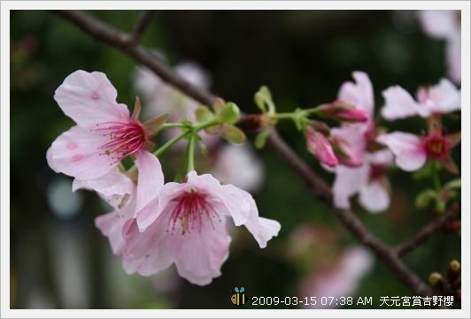 09.03.15 天元宮賞吉野櫻 (9)
