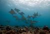 mobulas2446pcw (gerb) Tags: ocean blue topf25 beautiful topv111 coral 1025fav 510fav wow ilovenature cool nice topv555 topv333 underwater topv1111 topv999 scuba fv5 loveit pi wildanimal 1224mmf4g topv777 rays d200 reef maldives animalplanet fins mobula tvp aquatica bigwow sunkentreasureaward