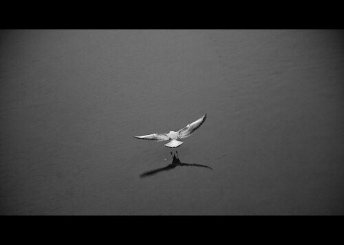Gaviota en blanco y negro - Black and White seagull