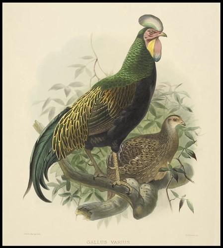 Green Jungle Fowl (Gallus Varius); and Fireback Pheasant (Euplocamus Pyronotus) (1870-1872)