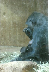 DC Zoo (Carrie Ellingson) Tags: gorilla dczoo