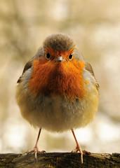 bird robin nagillum headon allenbanks goforyourgun