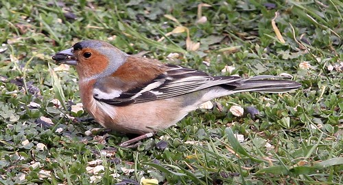 Male Chaffinch with Sunflower Seed