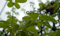 rain drops 101 (sparky atl) Tags: water leaves rain leaf spring raindrops waterdrops