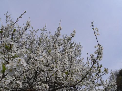 2009年-桜@山の辺の道-02