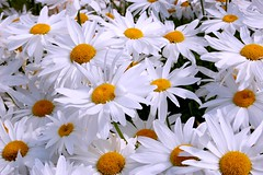 Daisy Chain (nEoPOL) Tags: white flower macro yellow nikon dof daisy neopol d40 vosplusbellesphotos