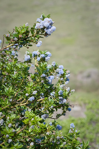 Ceanothus sp. by you.