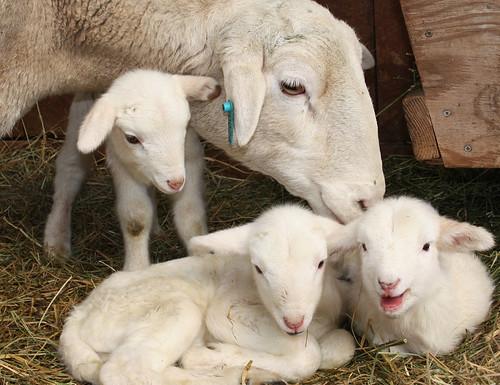 #24's triplet lambs