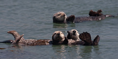 Sea Otters (Mom with pup) at Target Rock near Morro Rock in Morro Bay, CA 04 April 2009
