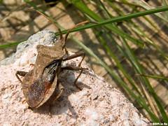 Punaise brune (Coreus marginatus) (Le No) Tags: 31 insecte punaise hautegaronne midipyrnes coreusmarginatus stlon lauragais htroptre collectionnerlevivantautrement punaisebrune