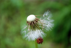 Disperse (D. R. Images) Tags: plant green outside weed nikon break outdoor sunday seed overcast dandelion seeds spreading separate nikond80