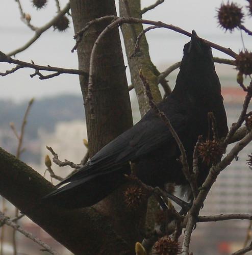 DSC_101_crow_twig