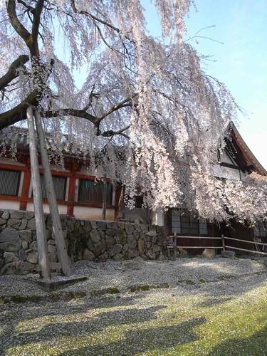 09-04-05【桜】@氷室神社-03