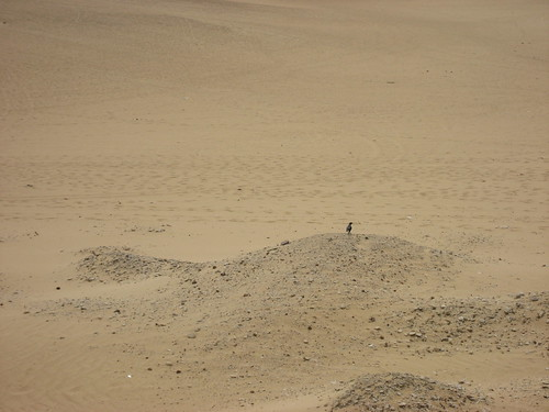 Bird in the desert at Abu Gurab