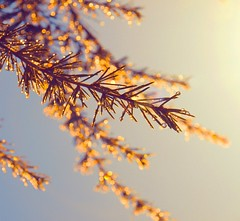 ... (Ekler) Tags: light sun detail macro tree art nature water rain pine vintage photo flora shiny poem branch artistic bokeh expression glory joy picture pic drop dewdrop explore needle dew after sparkly spark sine evolt mornig sunsine robertgraves ekler oldschooldigital olympuse410 soloha dewdropanddiamond
